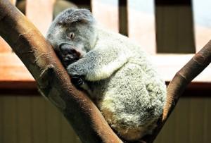 koala-1651052_1920
