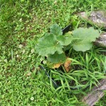 rhubarb2-150x150